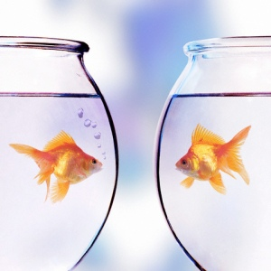 Goldfish Looking at Each Other